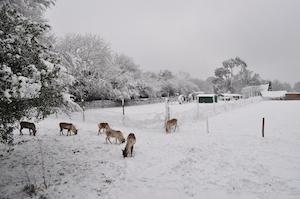 Reindeer in snow