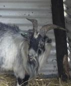 Reg the Goat